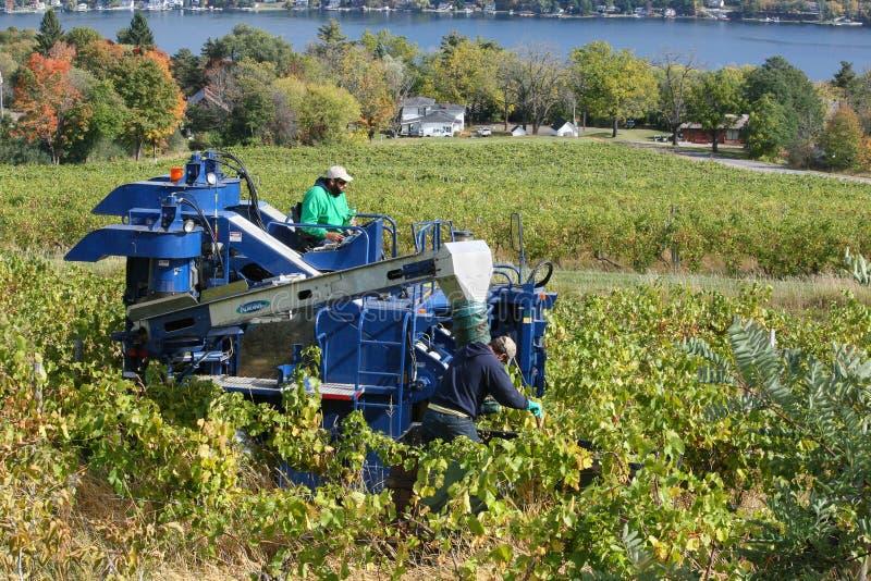 Récolte de raisin à un vignoble de lacs finger images stock