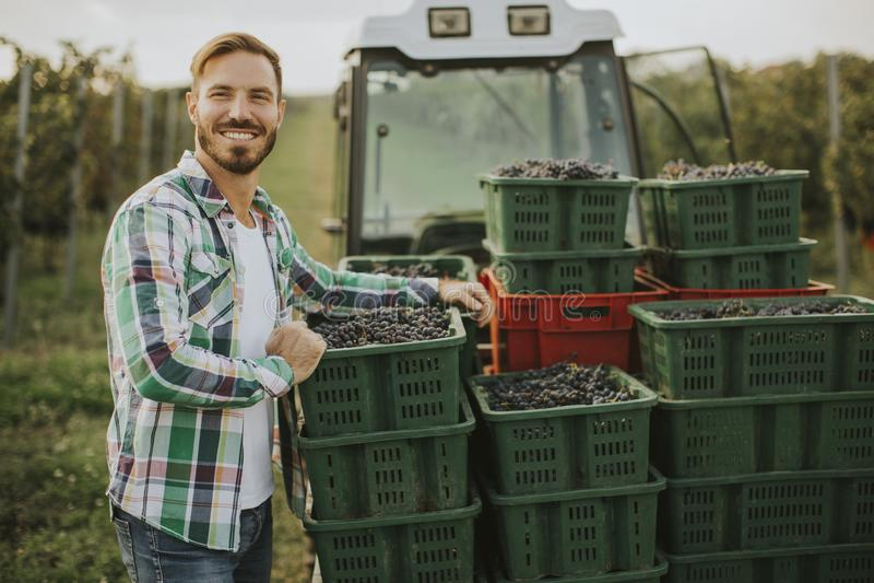 Récolte de raisin photos libres de droits