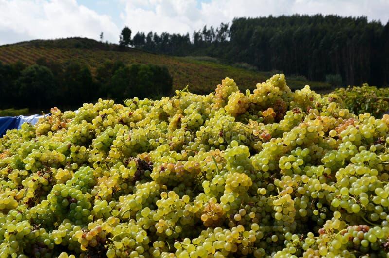 Récolte de raisin photo libre de droits