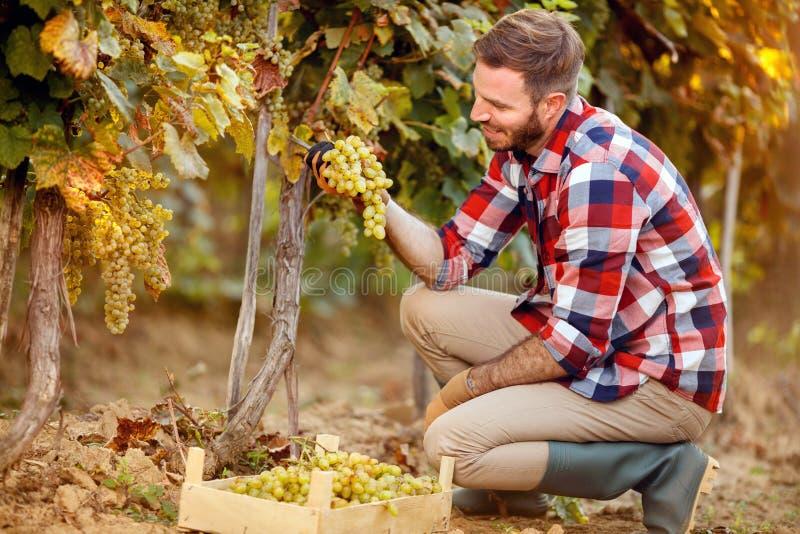 Récolte de raisin - travailleur travaillant dans le vignoble photo libre de droits