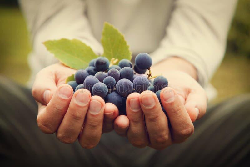 Récolte de raisins image libre de droits
