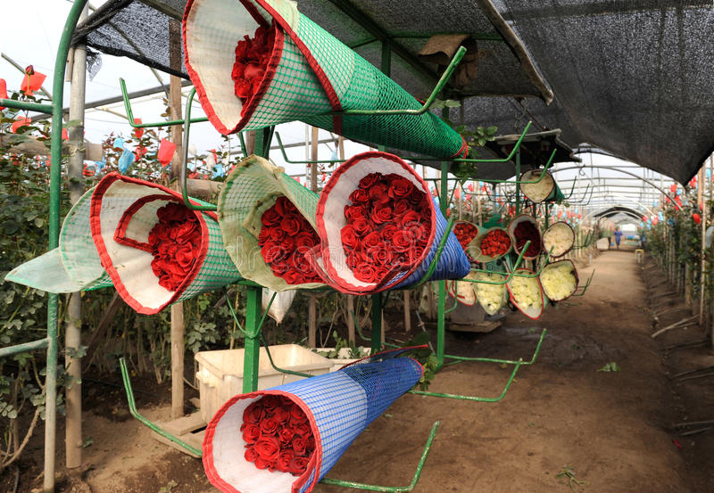 Récolte de roses, plantation en Equateur photo stock