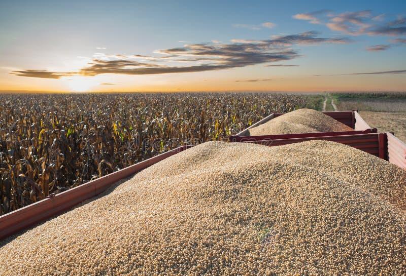 Récolte de soja images stock