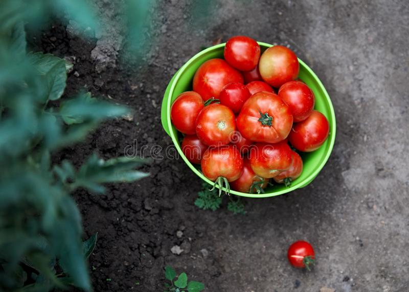 Récolte de tomate fraîche photographie stock libre de droits