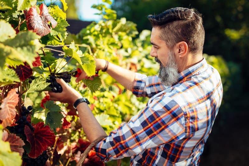 Récolte de vignoble photo stock