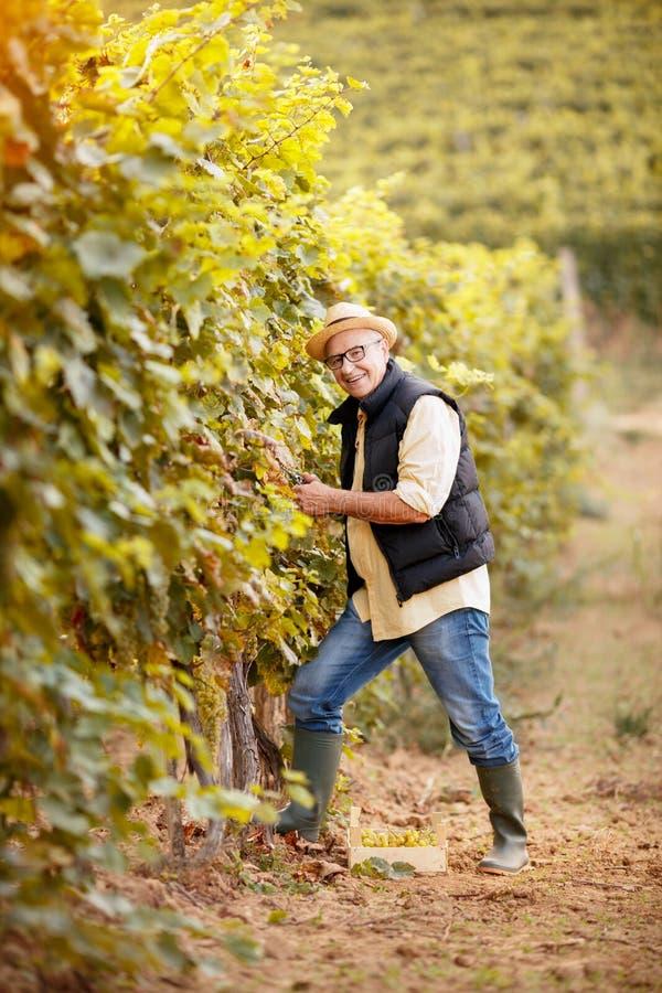 Récolte de Winemaker le raisin à son vignoble photographie stock libre de droits
