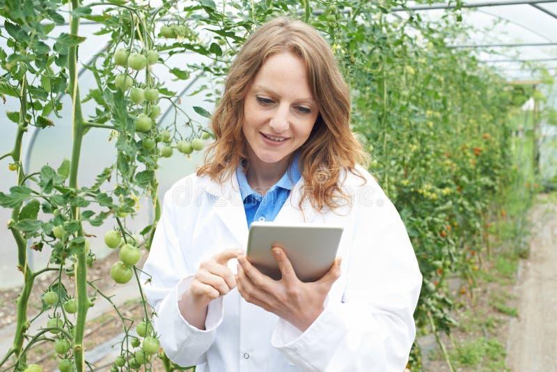 Récolte des tomates femelle d'In Greenhouse Researching de scientifique photo libre de droits