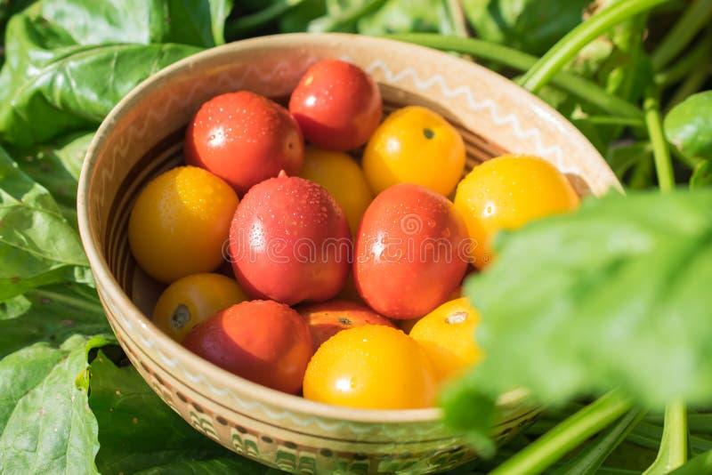 Récolte des tomates rouges et jaunes fraîches et organiques dans une cuvette photo stock
