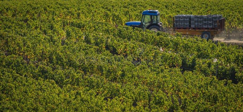 Récolte manuelle dans le vignoble de Bordeaux image libre de droits