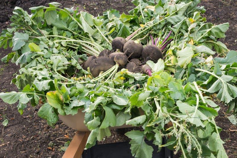 Récolte noire de radis photos stock