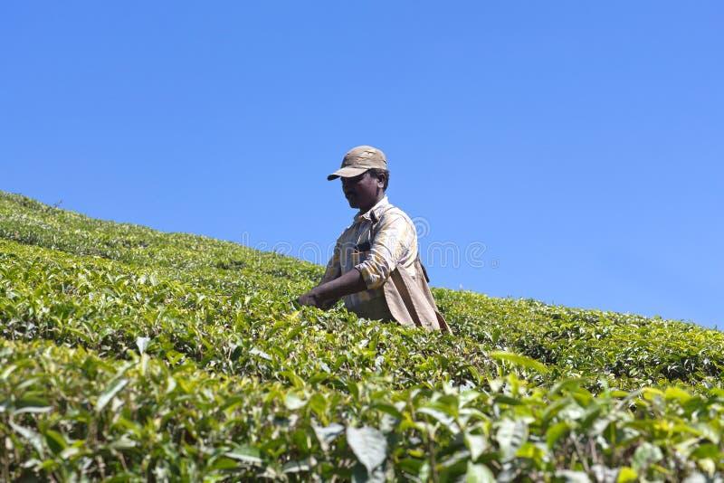 Récolteuse de thé travaillant dans la plantation de thé dans l'état du Kerala photographie stock libre de droits
