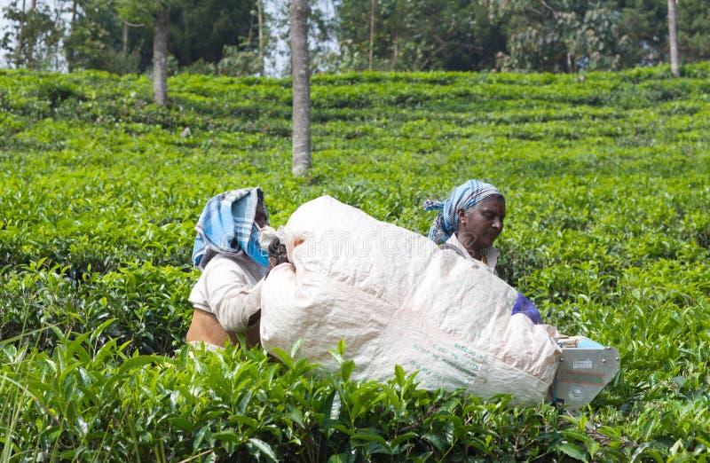 Récolteuse féminine de thé travaillant dans la plantation de thé dans Munnar, Kerala, S images libres de droits