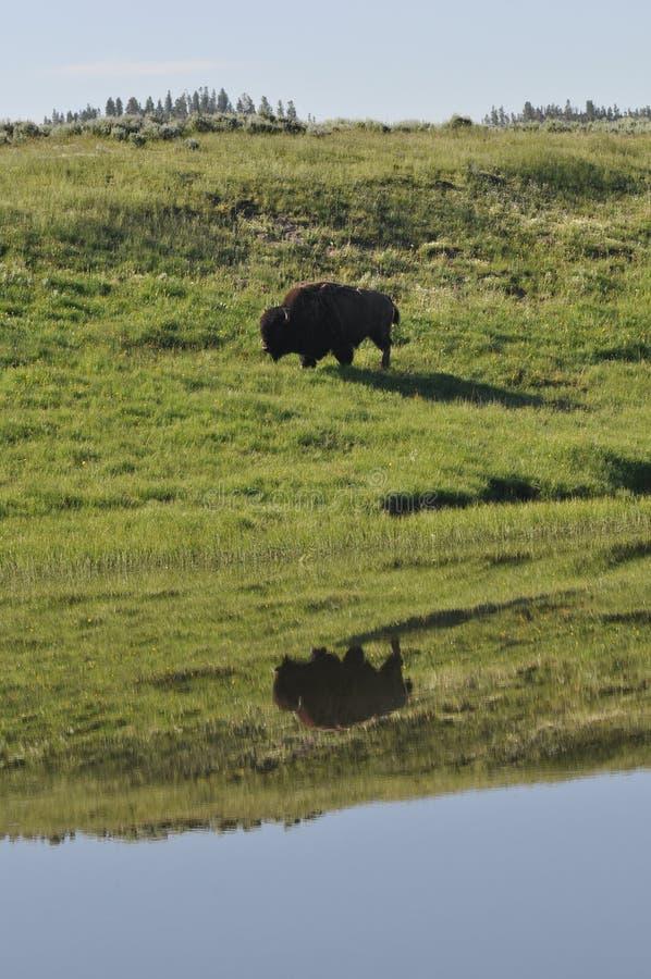Réflexion américaine de bison de buffle image stock