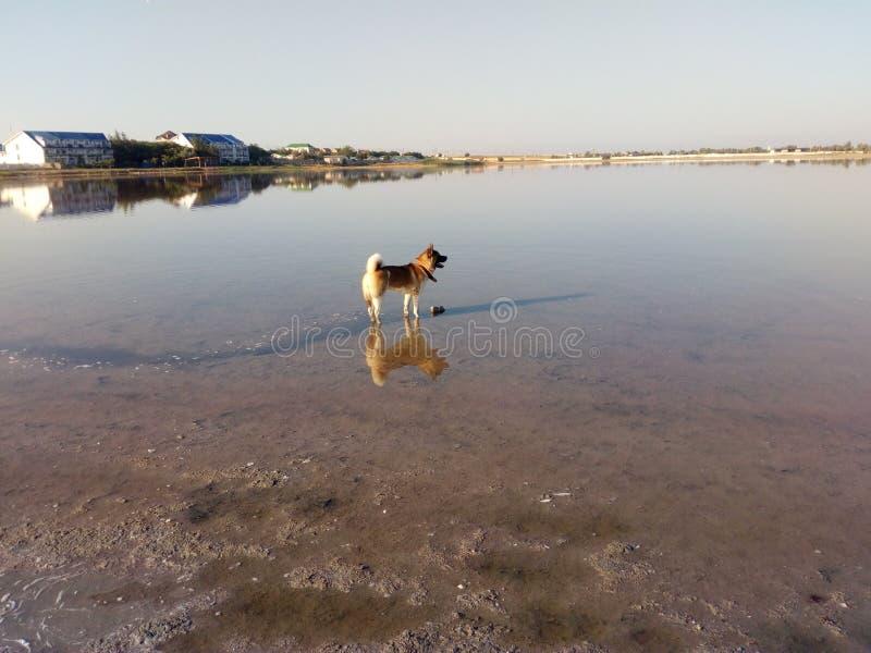 Réflexion d'Akita d'Américain dans le lac photos stock