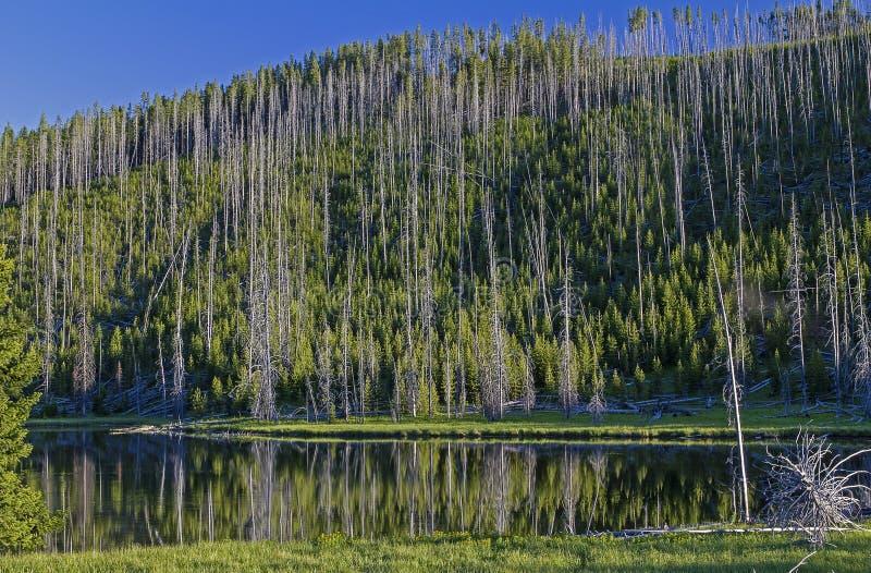 Réflexion d'arbre dans un lac dans Yellowstone photo libre de droits