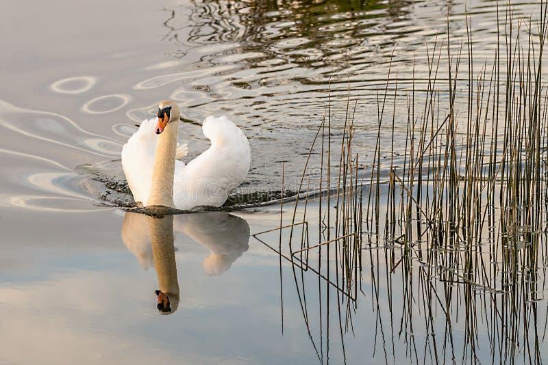 Réflexion d'un cygne blanc image stock