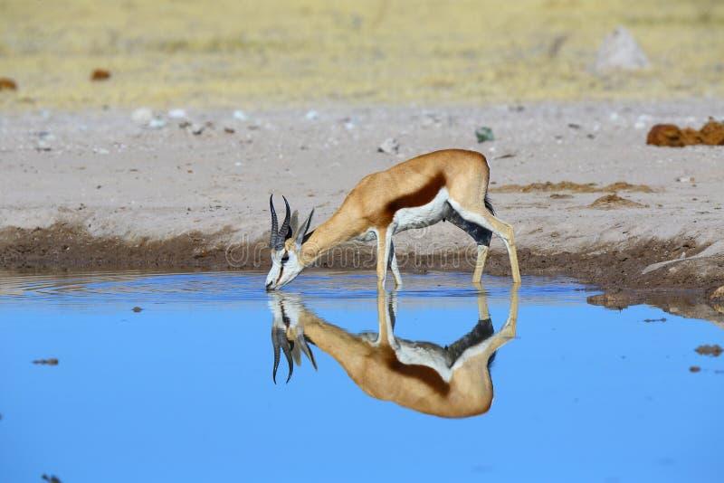 Réflexion d'un springbuck dans l'eau photos stock