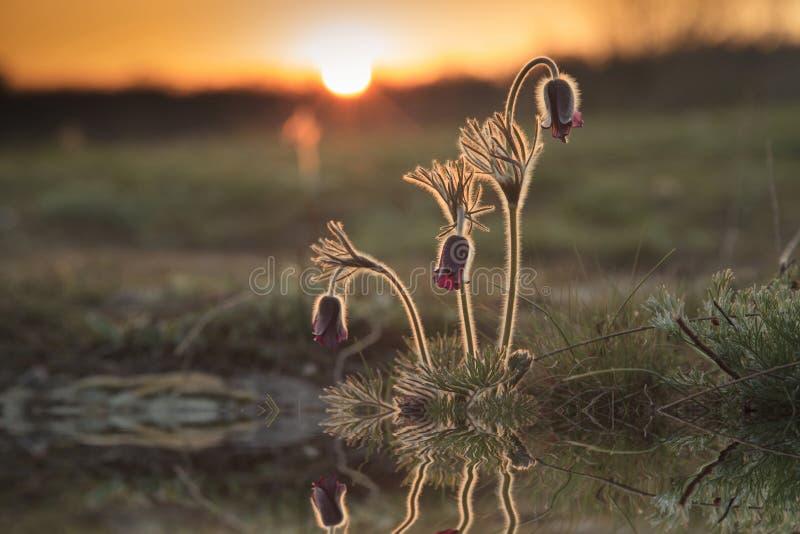 Réflexion de belles fleurs de ressort image libre de droits