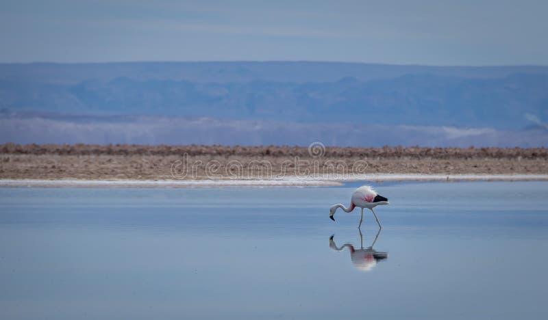 Réflexion de flamant sur le lac, désert d'Atacama - Chili photos libres de droits
