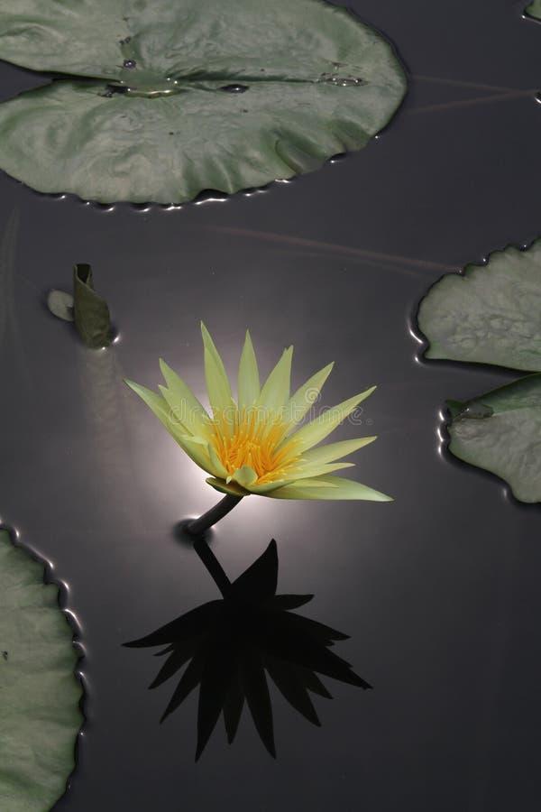 Réflexion de fleur de lis image libre de droits