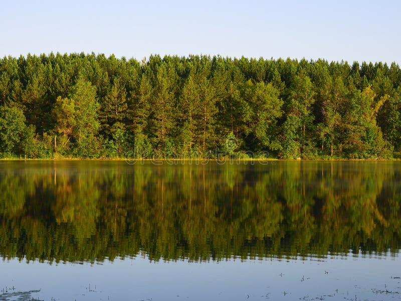 Réflexion de forêt de pin photo libre de droits