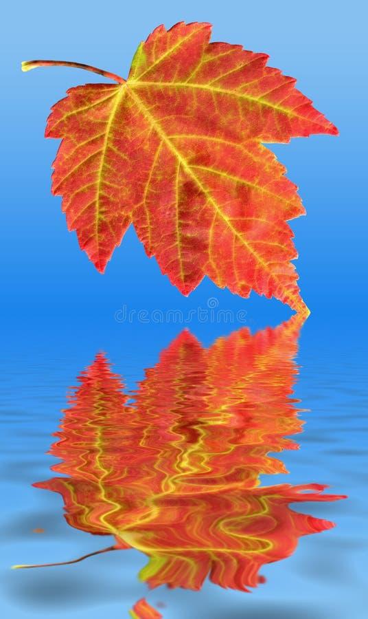 Réflexion de lame d'érable d'automne images stock