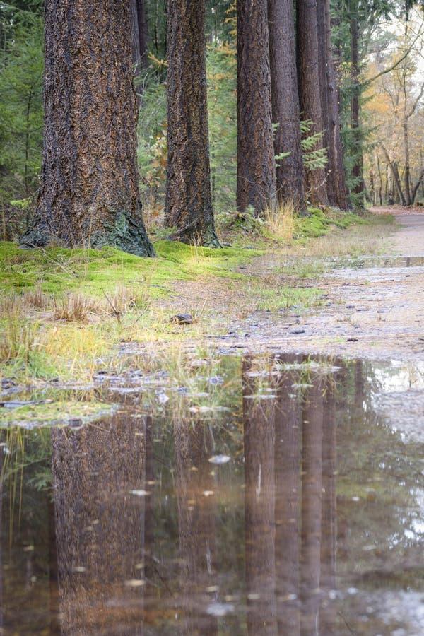 Réflexion de pins dans le magma de l'eau sur le chemin forestier photos stock