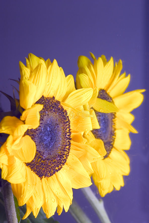Download Réflexion de tournesol image stock. Image du réflexion, tournesol - 91909