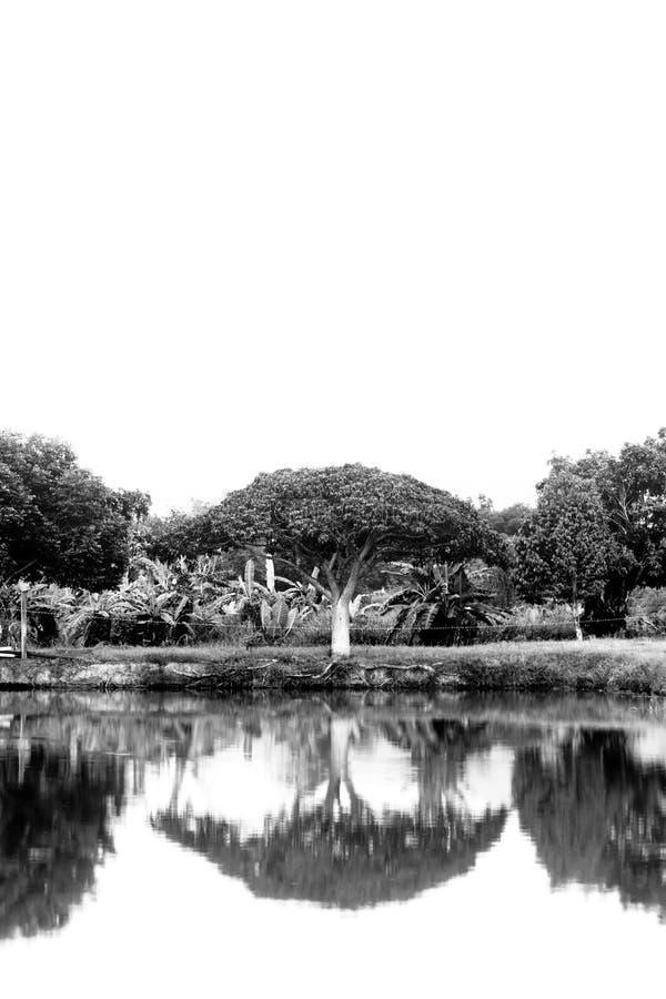 Réflexion des arbres en noir et blanc photo libre de droits
