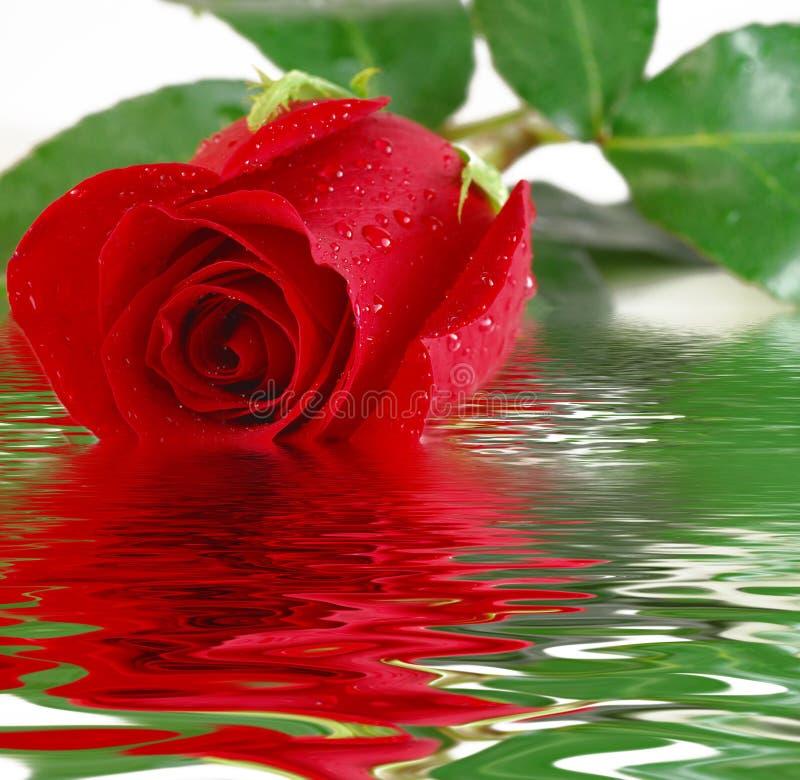 Réflexion rouge de Rose images libres de droits