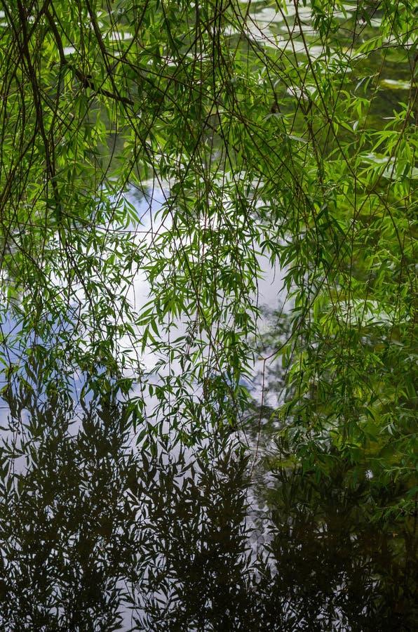 Réflexions pleurantes de saule sur un lac image libre de droits