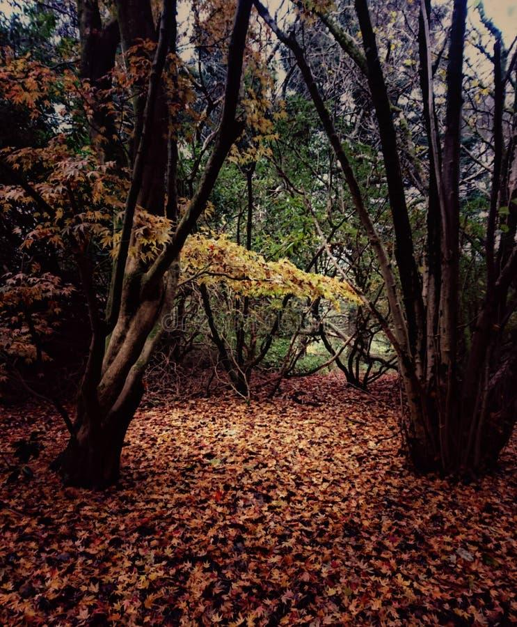 Région boisée dégageant des feuilles d'Acer en automne photographie stock libre de droits