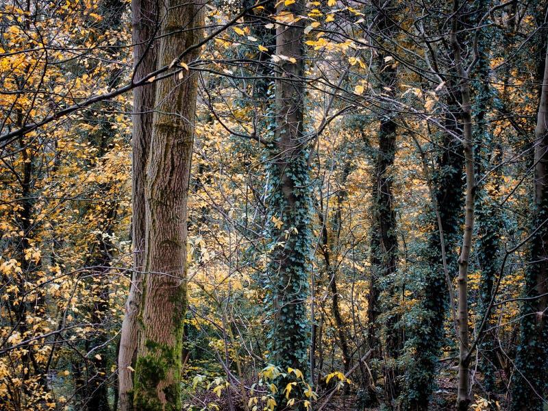 Région boisée d'automne avec les arbres couverts par lierre et les textures d'écorce images stock