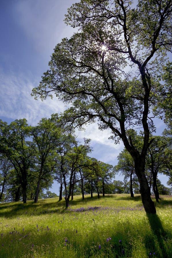 Région boisée de chêne de la Californie images stock