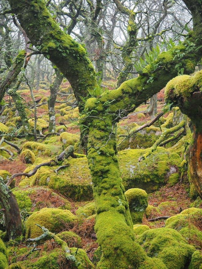 Région boisée de chêne de taillis de Noir-un-massif de roche avec les lichens et les mousses verts, parc national de Dartmoor, photo stock