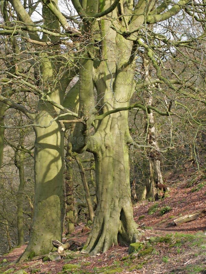 Région boisée rocheuse de flanc de coteau avec les arbres de hêtre tôt grands de ressort en bois de nid de corneille dans West Yo photographie stock libre de droits