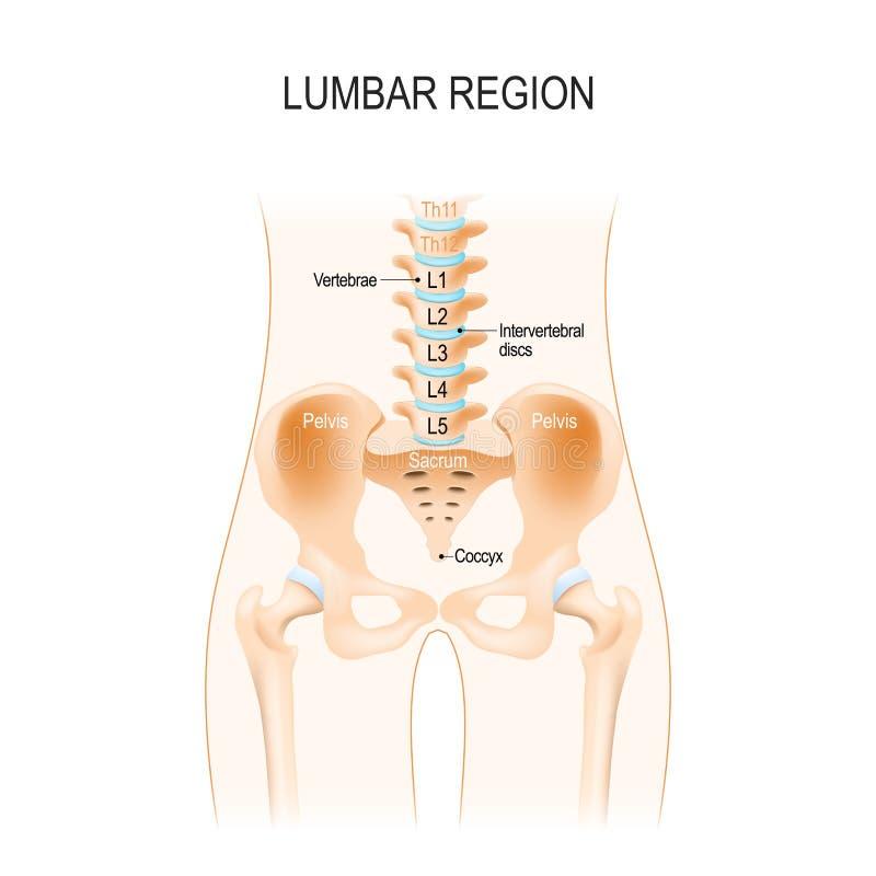 Région lombaire Anatomie humaine illustration de vecteur