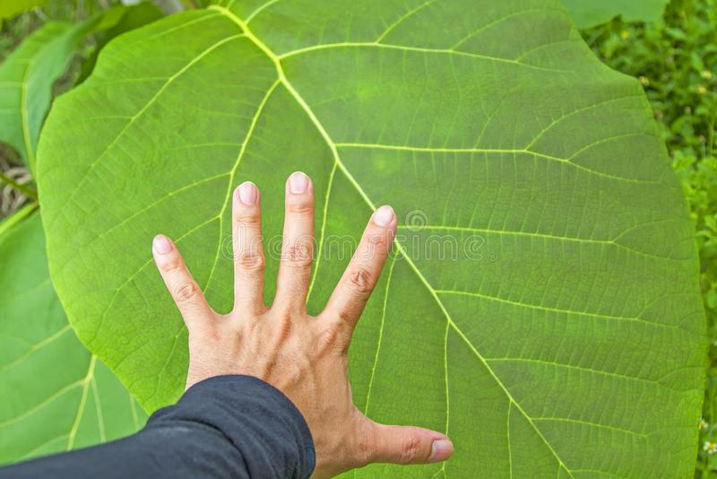 Répandez vos mains avec de grandes feuilles images stock