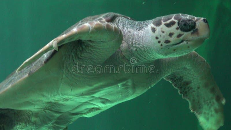 Répteis e animais selvagens das tartarugas de mar imagem de stock royalty free