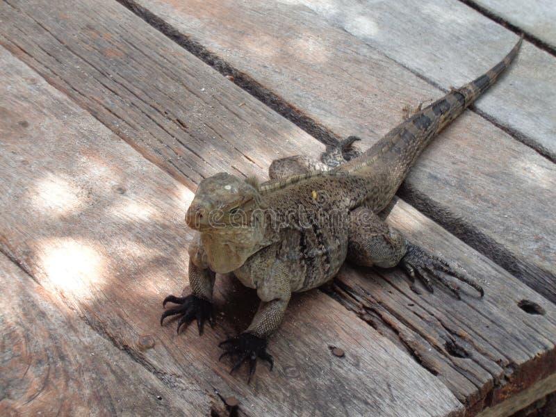 Réptil da iguana tropical imagens de stock royalty free