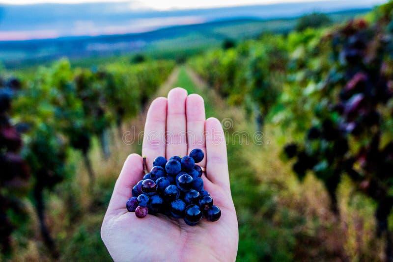 République Moravie du sud - vignobles de contrôle des raisins photographie stock libre de droits