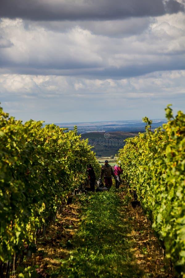 République Moravie du sud - vignobles de contrôle des raisins photos stock