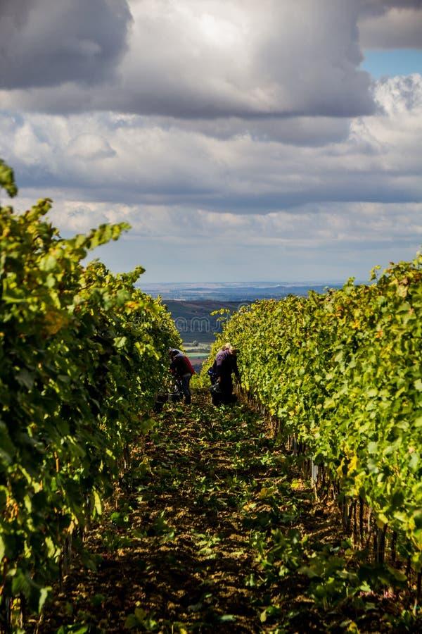 République Moravie du sud - vignobles de contrôle des raisins photographie stock