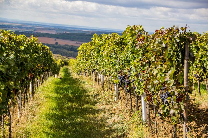 République Moravie du sud - vignobles de contrôle des raisins image libre de droits