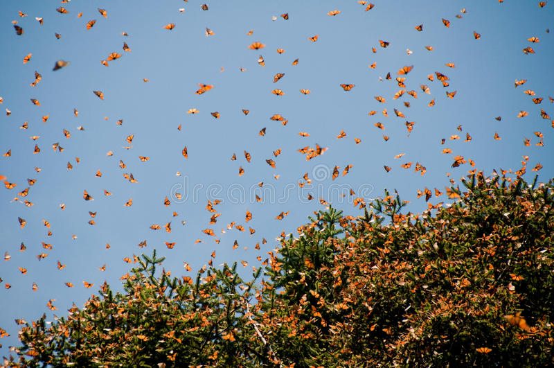 Réserve de biosphère de guindineau de monarque, Mexique image stock