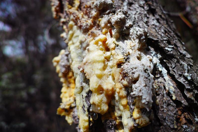 résine de pin dans un pré images libres de droits