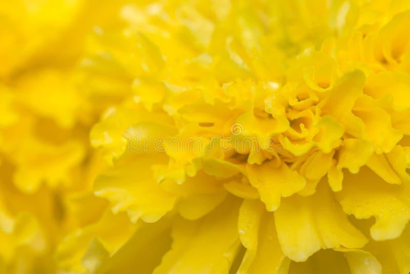 Résumé brouillé de la fleur jaune, souci américain photos stock