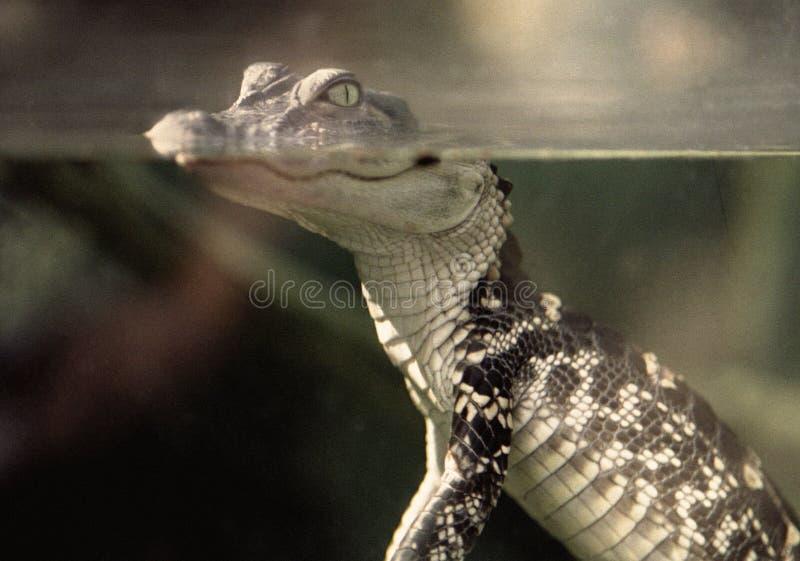 Rétro alligator de bébé photos libres de droits