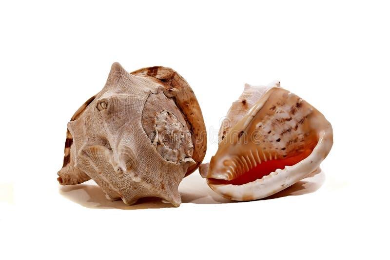 Réunion de deux coquilles colorées différentes de mer photo stock