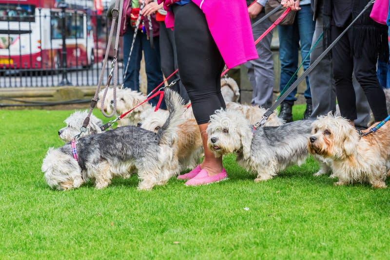 Réunion de propriétaire du Dandie Dinmont Terrier photos libres de droits